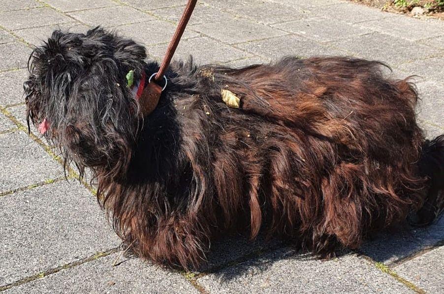 Hond met vervilte vacht vastgebonden aan boom